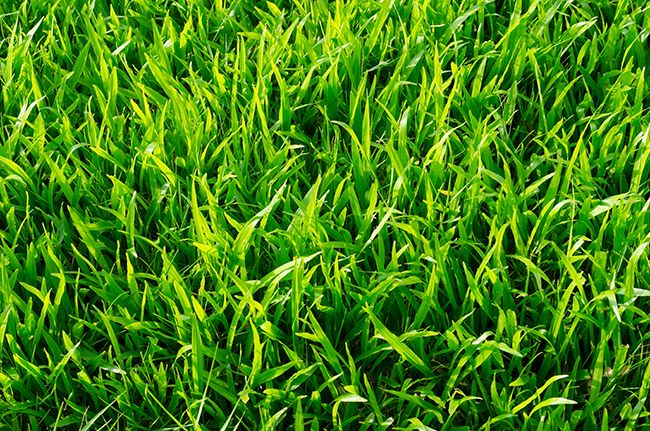 Turf type tall fescue grass.