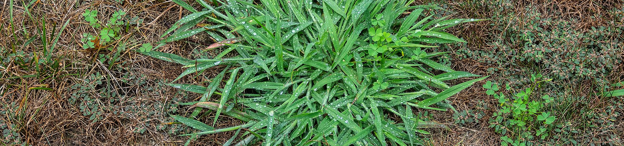 Crab grass in a lawn.