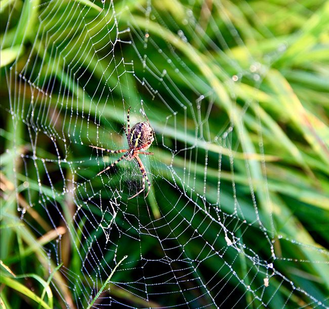 Spider in a web woven into the lawn.