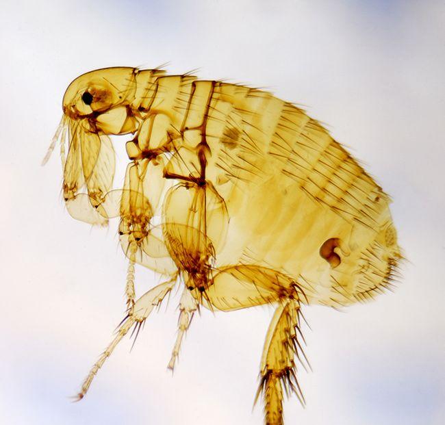 A macro shot of a flea.