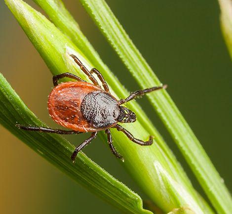 A tick on tall blades of grass.