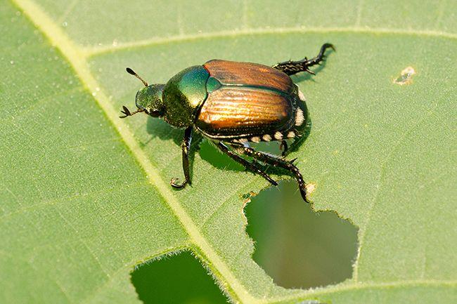 Beetle sitting on a chewed up leaf.