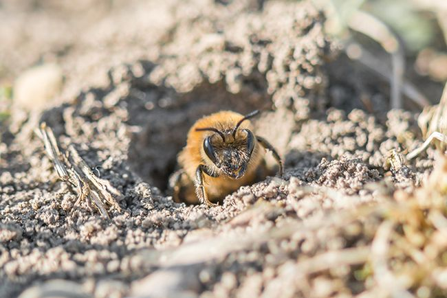 A miner bee emerging from burrow.