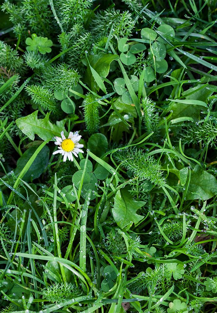 An assortment of weeds growing in lawn.