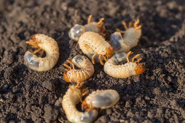 Several grubs on-top of soil.
