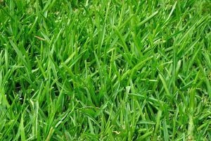 how to properly fertilize your lawn organic lawns