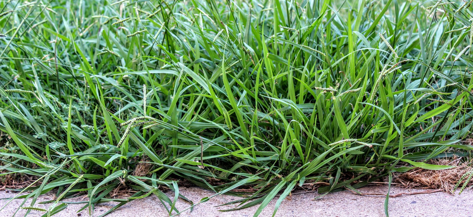 Crabgrass growing in a lawn.
