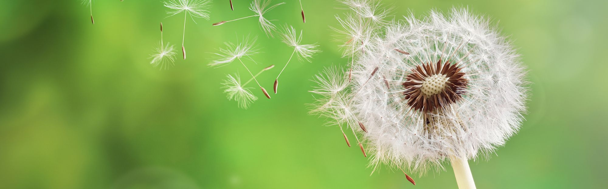 Close up of a germinated dandelion.